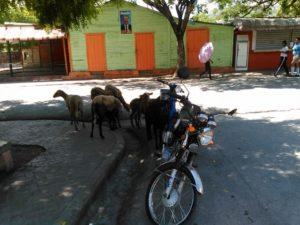 , Alcaldía de Salinas toma medidas contra animales ambulantes.