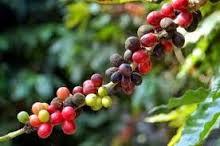 , Ayuntamiento de Polo declara en estado de emergencia a productores de café.