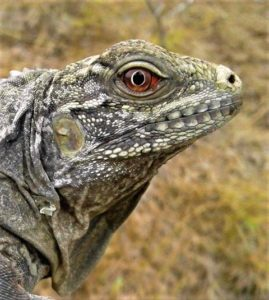, Proyecto realiza con éxito conservación de Iguanas Ricord (Cyclura ricordi) y otras especie en el Lago Enriquillo