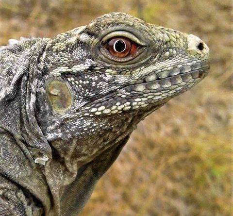 Proyecto realiza con éxito conservación de Iguanas Ricord (Cyclura ricordi) y otras especie en el Lago Enriquillo