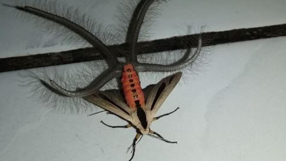 , Encuentran en Indonesia un insecto que atemoriza a las redes