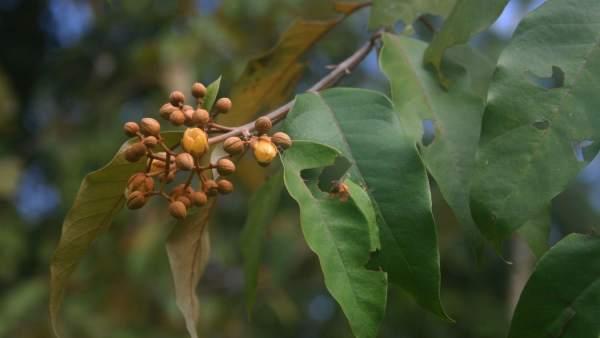 , Hallan una planta del Amazonas que mata células cancerígenas humanas
