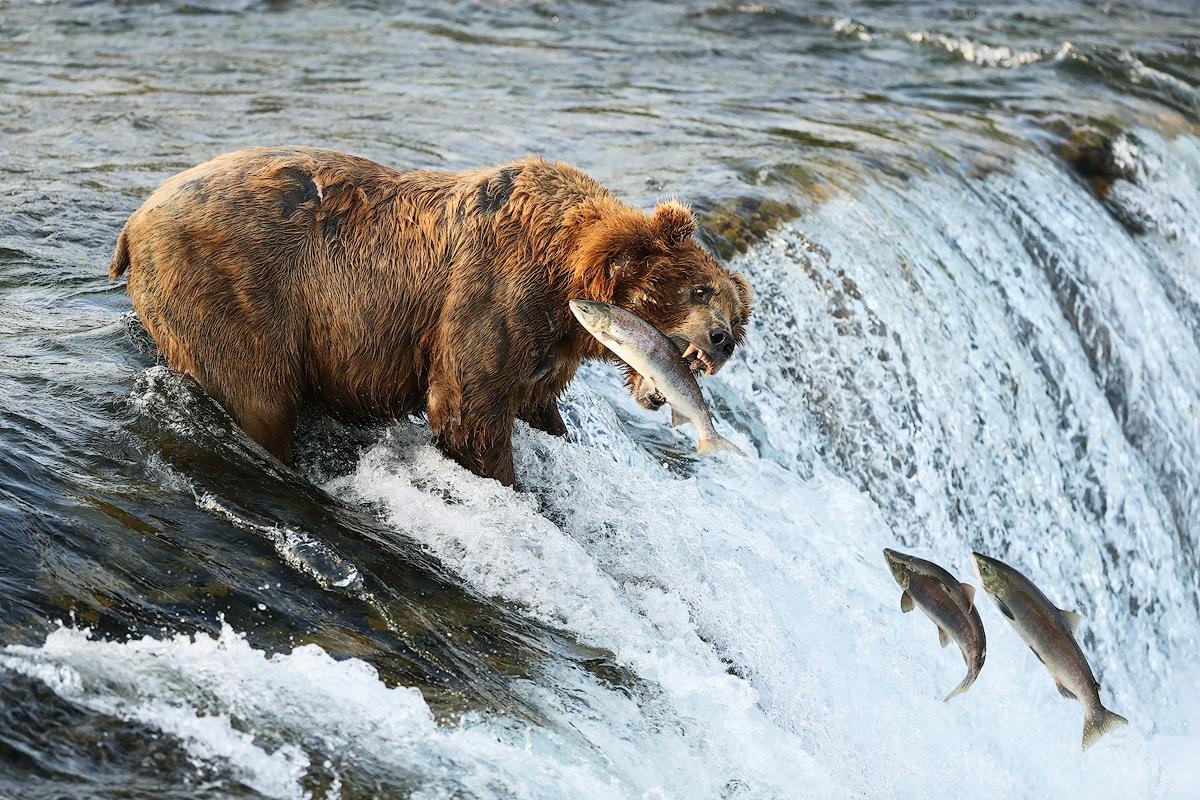 , Calentamiento global está acabando con los osos y el salmón en Canadá