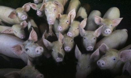 Nueva cepa de gripe porcina con el potencial de convertirse en pandemia, descubierta en China