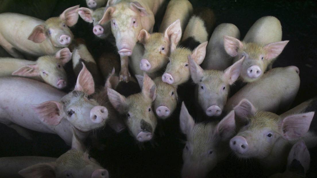 , Nueva cepa de gripe porcina con el potencial de convertirse en pandemia, descubierta en China